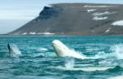 Фото: Наблюдение за белухами — Белое море